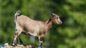 goats horns goat artiodactyl goats pets photos with details for hd 16