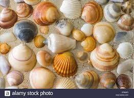 sea shells collection seashells as background sea shells collection seashells natural
