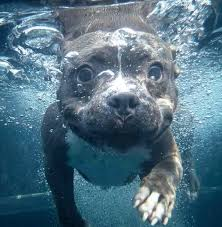 cute blue pitbull puppies. Beautiful Pitbull Under Water Puppy And Cute Blue Pitbull Puppies D