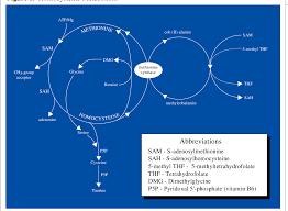 Pdf Homocysteine Metabolism Nutritional Modulation And