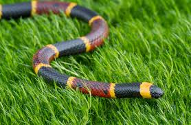 The eastern tiger snake (notechis scutatus) is the most widely distributed type of tiger snake, which inhabits the southern fringe of australia and the region's nearby islands. Coral Snake Description Size Facts Britannica