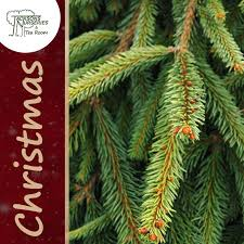 Traditional Norway Spruce Christmas Tree (16ft - 18ft)