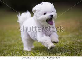 maltese dog. dog running / white maltese playing and on green grass plants background u
