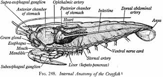 full stomach diagram all about repair and wiring collections full stomach diagram best of printable grasshopper internal anatomy diagram medium size full stomach