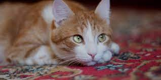 how to clean up cat litter on a carpet
