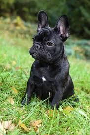 black french bulldog. Exellent French Beautiful Black French Bulldog Puppy Close Up Stock Photo  88707843 Inside Black Bulldog L