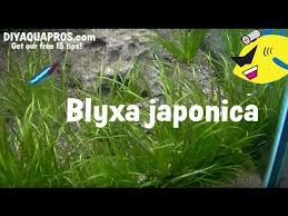 Blyxa Japonica Plant Care - How To Grow Blyxa Japonica - YouTube