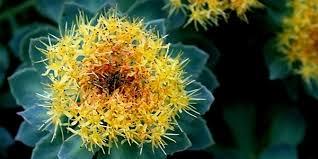 Risultati immagini per rhodiola pianta