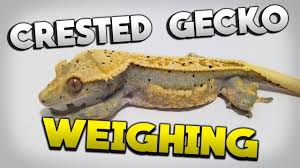 Weighing The Crested Geckos April 2019 Growth Update