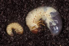 Learn About Grub Worms Grub Worm Facts Hulett Pest Control