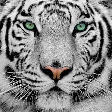 white tiger face wallpapers top free