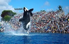 original shamu. Brilliant Shamu Shamu SeaWorld Show Intended Original O