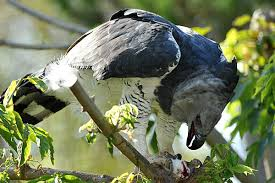 Small Picture Harpy Eagle Facts For Kids Harpy Eagle Diet Behavior