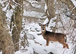 Image result for whitetail in snow