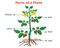 Plant Chart Parts Of A Plant Worksheets
