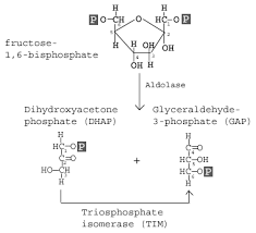 Glycolysis Chart With Enzymes Glycolysis Explained In 10 Easy Steps With Diagrams