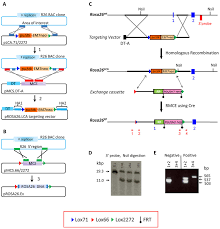 Strategies a steps And Recombineering Rmce Gene Scientific Bac Targeting For Diagram Download