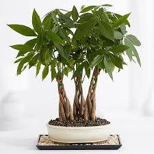 braided money tree grove bonsai tree for office