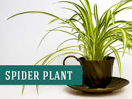 Spider Plants are a great indoor plant that purifies the air