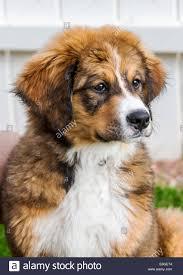 bernese mountain dog mix. Exellent Mix Twelve Week Old Bernese Mountain Dog Great Pyrenees Mix Breed Puppy  Running On To Dog Mix N