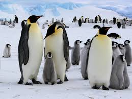 emperor penguin habitat.  Habitat Information About Emperor Penguins In Emperor Penguin Habitat World