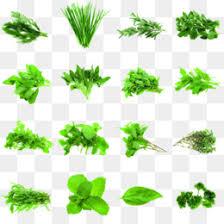 Medicinal Herbs Png Native American Medicinal Herbs