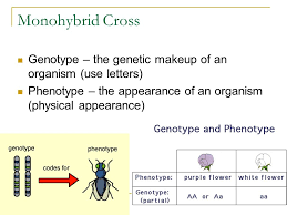 14 monohybrid cross genotype the genetic makeup of an organism use letters phenotype the appearance of an organism physical appearance