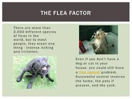 flea infestation yard. Appealing Flea Infestation Yard How Do I Get Rid Of A In My . T