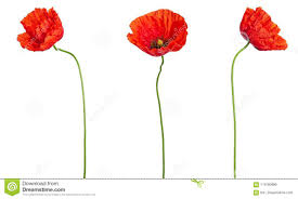 poppy template wild red poppies in a row isolated on white background different