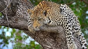 preview wallpaper cheetah predator lying big cat