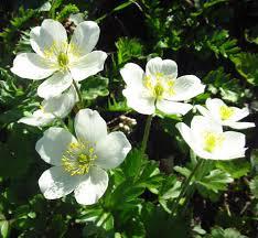 delicate white flowers on rendezvous peak