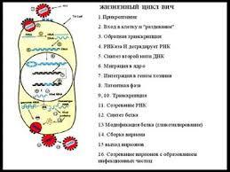 Паразиты реферат по паразитам человека Реферат по паразитам человека