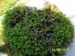 Small Picture Garden Design Garden Design with Mexican Heather False Heather