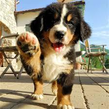 bernese mountain dog puppies. Unique Dog 30 Cute Bernese Mountain Dog Puppies BerneseMountainDog For
