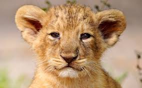 baby face lion wallpaper desktop