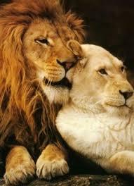 lioness and lion cuddle.  And Lion And Lioness And Lioness Cuddle L