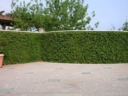 7 Best Evergreen Climbers Images On Pinterest  Evergreen Garden Wall Climbing Plants Nz