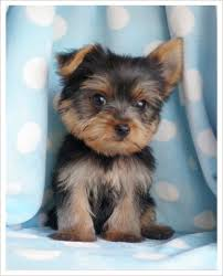 toy yorkie puppy the yorkshire terrier is a small dog breed of terrier type developed in the 19th century in the county of yorkshire england to catch