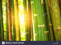 Yellow Light Shining Down Bamboo With Light Shining Down On The Day Stock Photo