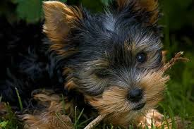 silky dog. silky terrier personality | dogs \u0026 puppies dog breeds