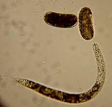 Soybean Cyst Nematode Management Guide Golden Harvest