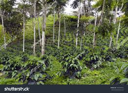 shade grown coffee plantation. Fine Grown Coffee Bushes In A Shadegrown Organic Coffee Plantation On The Western  Slopes Of Inside Shade Grown Plantation