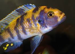 African Cichlid Aggression Chart Reducing Cichlid Aggression In Your Aquarium Fish Chart