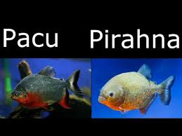 The Difference Between Piranha And Pacu