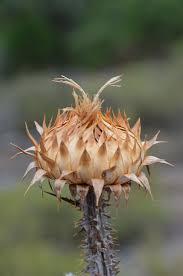 Carduus nigrescens — Wikipédia
