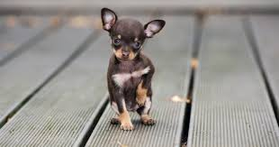 Dog Size Classification Chart Top 10 Cutest Teacup Dogs That Can Fit In Your Pocket