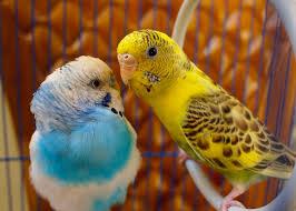 beautiful love birds wallpaper