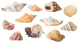 sea shells collection a collection of isolated seashells 22 in total stock photo