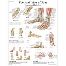 Laminated Anatomy Charts Foot And Joints Of Foot Chart Anatomy And Pathology