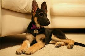 German Shepherd Exercise Chart The Costs Of Buying And Raising A German Shepherd Puppy